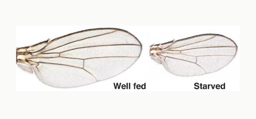 Organs and tissues development in drosophila